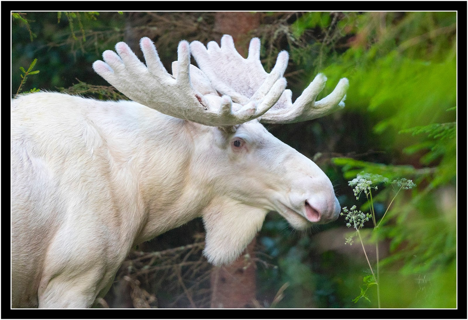 white moose close up lasse dybdahl